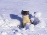 A Weasel Pops out of the Snow