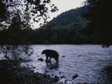 A Black Bear Searches for Sockeye Salmon in Shallow Waters