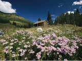 An Old Miners Cabin with Purple Asters in the Foreground