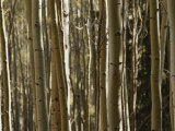 A Large Grouping of Birch Trees