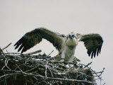 Osprey on its Nest