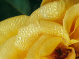 Close View of Dew on Olympic Gold Rose Petals