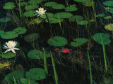 A Cuban Crocodile Lurks Almost Concealed Among Water Lily Pads and Blossoms