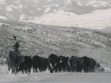 A Shot of Ranchers Pushing Cattle in December