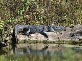 Alligator Basking on Tree Trunk  Belize