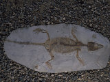 Fossil of Lizard-Like Creature  China