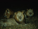 Eyes of Several African Lions Glow from a Strobe Flash in This Night View