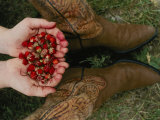 A Pair of Hands Holds Wild Strawberries Between a Pair of Cowboy Boots