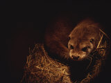 A Rare European Otter Peers into the Light from its Den