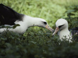 Gentle Greeting  Demure Response Mark the Courtship of the Laysan Albatross
