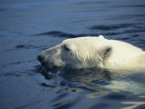 Polar Bear  Wager Bay  Northwest Territories  Canada