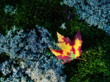 A Maple Leaf Lies on a Bed of Moss and Lichen in Autumn