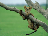 A Lion Cub Hangs from a Branch