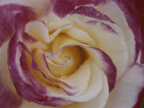 A Close View of a Cream Colored Rose with Pink Edges