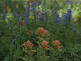 Indian Paintbrush and Purple Lupine Wildflowers  Wyoming
