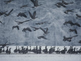 Canada Geese Gather in a Snowy Field in Tennessee