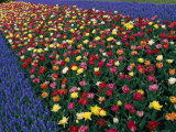 A Row of Red and Yellow Tulips Flanked by Rows of Blue Flowers