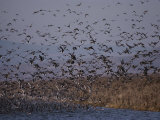 A Huge Flock of Ducks Takes off from a Pond