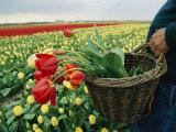 Yellow Tulip Field