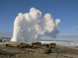 A Group of American Bison Rest Near the Old Faithful Geyser