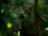 An African Elephant (Loxodonta Africana) Peering Toward the Camera
