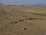 Cattle Drive in Montana