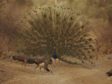 A Peacock Displays to a Group of Peahens