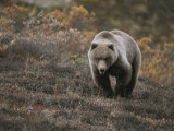 A Grizzly Walks Toward the Camera with a Serious and Threatening Look