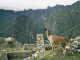Llama Stands Near the Ruins