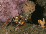 An American or Northern Lobster Near Sponges and Anemones