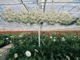 Lofty Conveyors Move Gerberas Through a Greenhouse