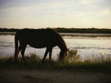 Chincoteague Pony Feeding on Marsh Grass