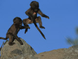 Two Playful Young Gelada Baboons Leap from a Rock