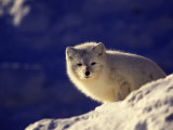 Arctic Fox  Winter Pelage  Alopex Lagopus