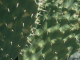 Close-up of a Prickly Pear Cactus in the Desert Sun