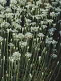 Garlic Chives  Whose Growth is Encouraged by Nipping the Flowers