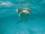 A Tiger Shark Swims in the Ocean