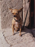 In This Close-up  a Short-Haired Chihuahua (Canis Familiaris) Sits on a Doorsill in the Sun