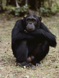 A Close-up of One of the Many Chimpanzees at Gombe Stream National Park