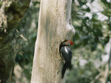 A Pileated Woodpecker Finds a Resting Spot in the Hole of a Dead Tree