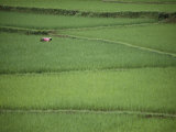 Woman Tends Terraced Rice Paddies