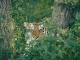 A Siberian Tiger Peers Through the Trees