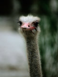 A Close View of the Face of a Captive Ostrich