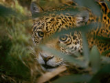 A Jaguar Peers Through a Cluster of Leaves