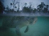 A Manatee Swims in Three Sisters Spring