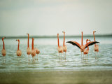 Flamingoes in the Water