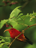 View of an Iiwi Bird on an Akala or Hawaiian Raspberry Branch