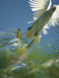 A Little Corella Cockatto Takes Flight from a Pine Tree