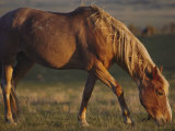 A Feral Mustang Grazes on Land Designated as a Wild Horse Sanctuary