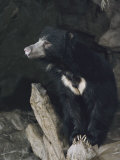 A Sleepy Sloth Bear Takes a Breather Outside its Cave